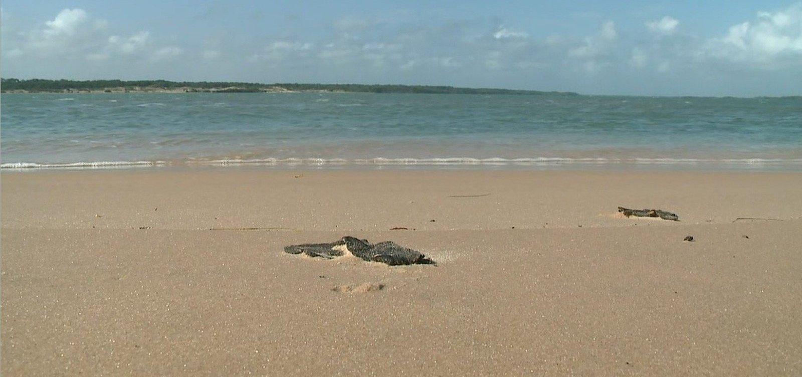 Ufba: Número de animais vivos no litoral norte da Bahia reduziu em 65% após manchas de óleo