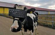 Vacas russas ganham visor de realidade virtual para reduzir ansiedade e dar mais leite