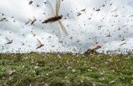 Nova nuvem de gafanhotos se aproxima da fronteira com Brasil, alerta Argentina